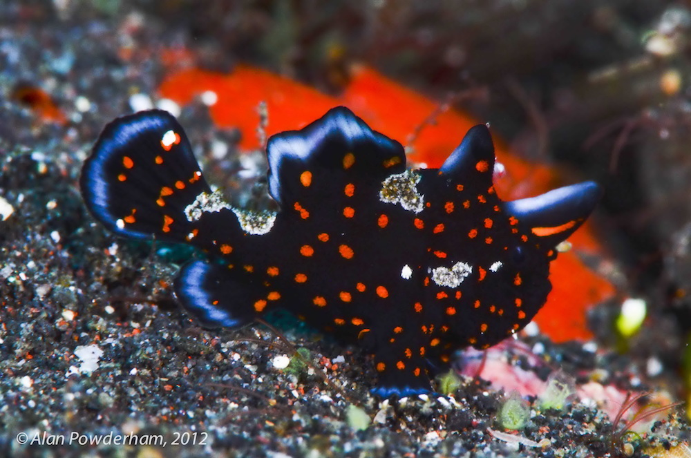 Juvenile Painted Frogfish Indonesia Amira liveaboard