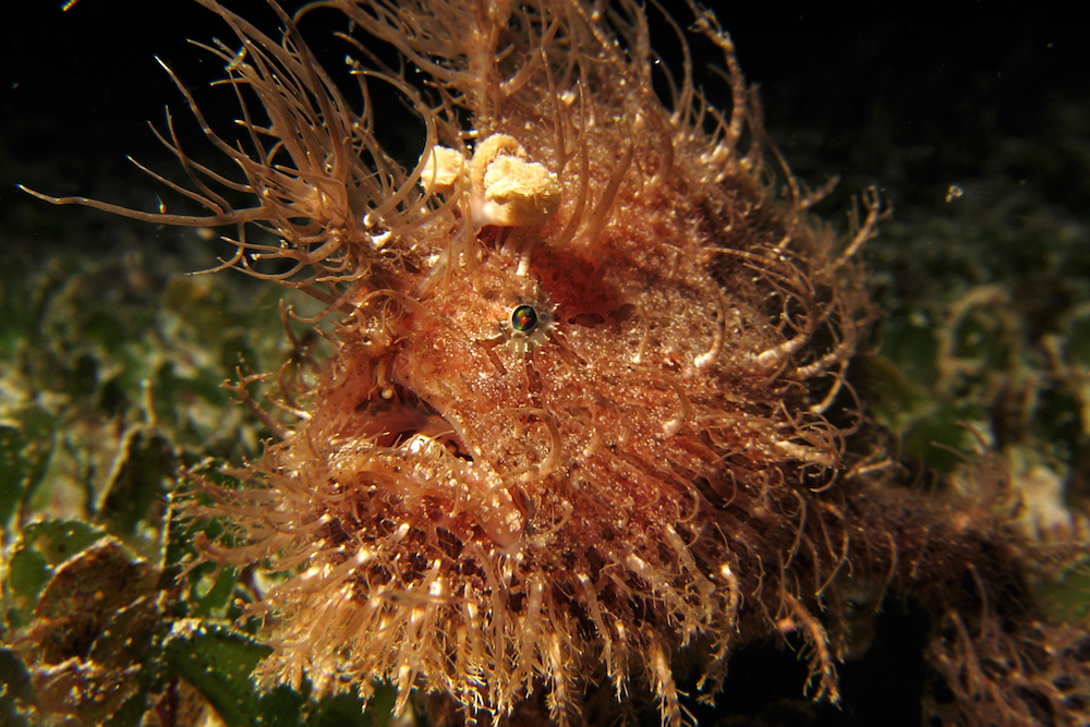 Hairy Frogfish Philippines Seadoors liveaboard