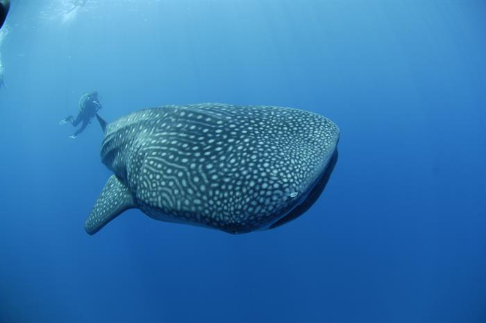 Dive with whalesharks in the Maldives