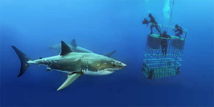 Cage Diving with Great White Sharks