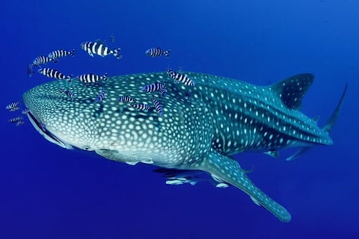Whale Sharks in Thailand