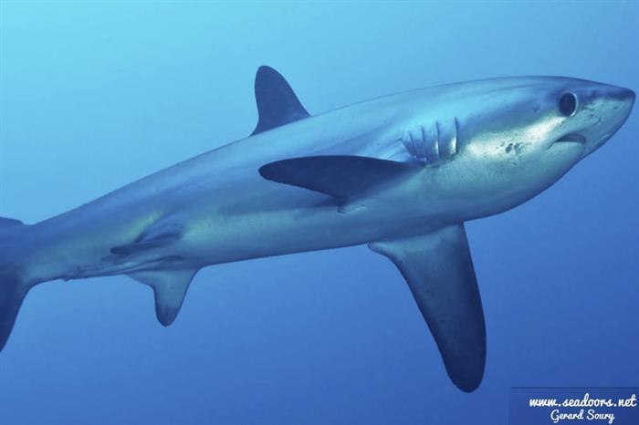 Thresher sharks in Malapascua