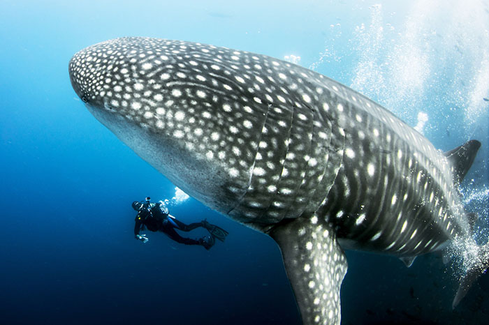 Diver photographing a whale shark