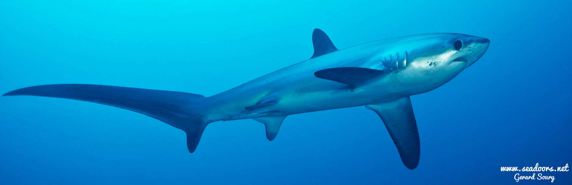 Thresher Shark - Philippines