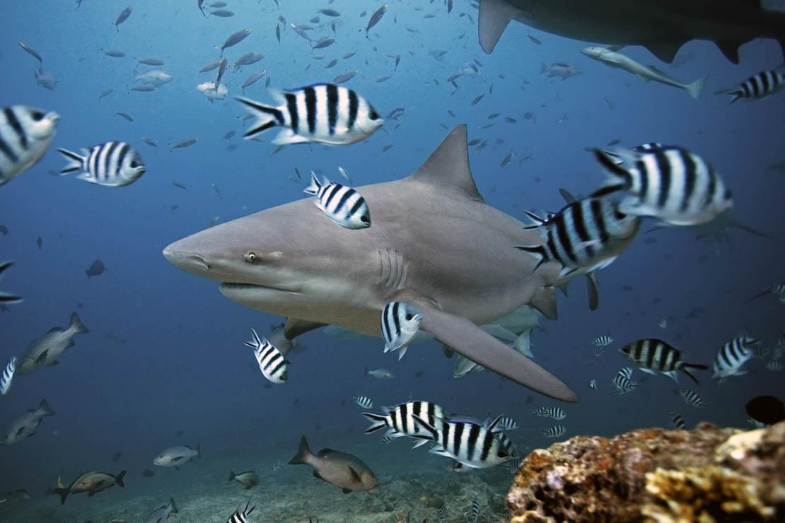 A bull shark among some Scissortail sergeants