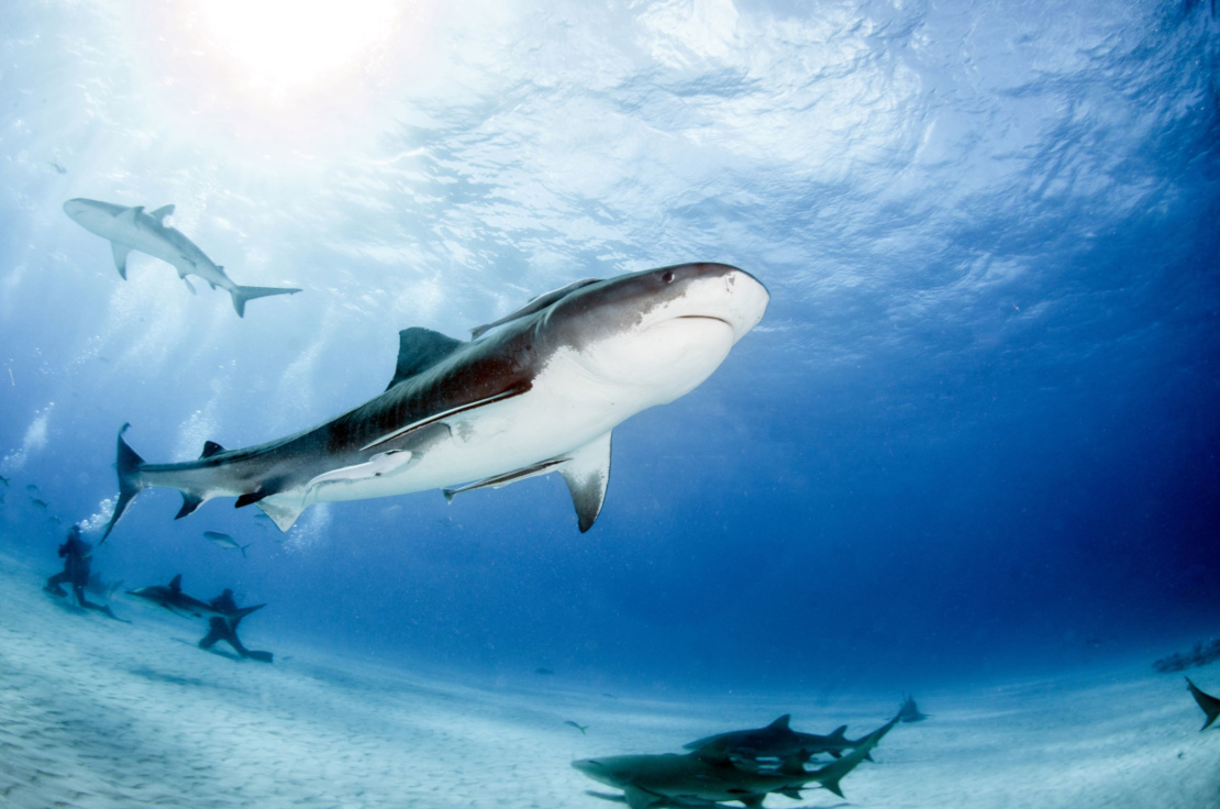 The Best Places To Dive With Tiger Sharks