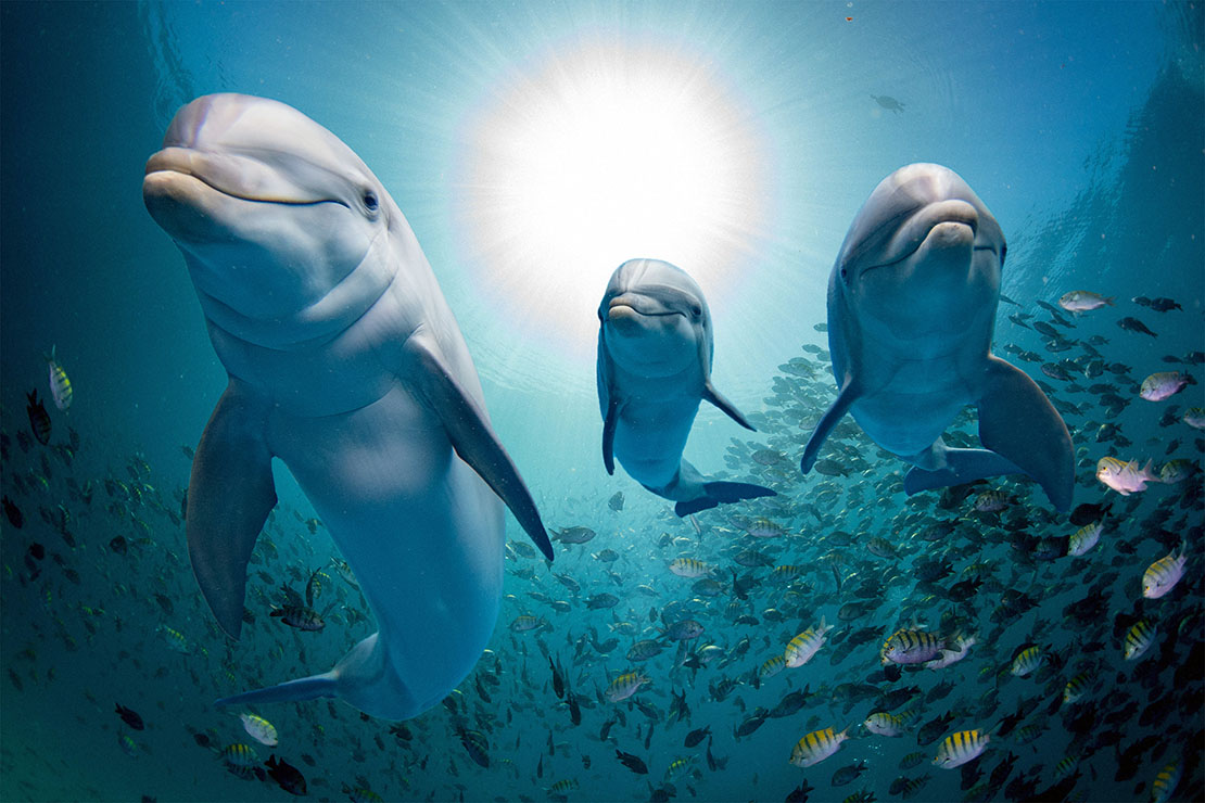 Three bottlenose dolphins, front view