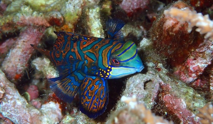 Mandarinfish-Muck diving