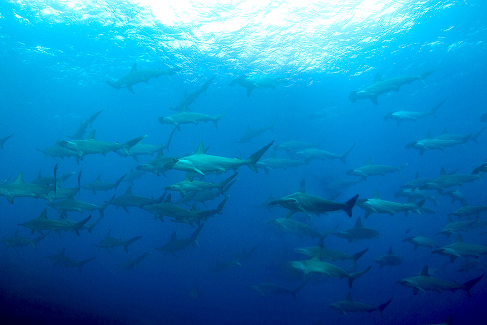 Hammerheads in Mexico