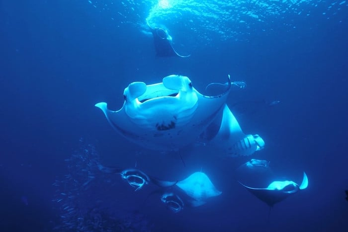 Manta madness in the Maldives - Azalea liveaboard