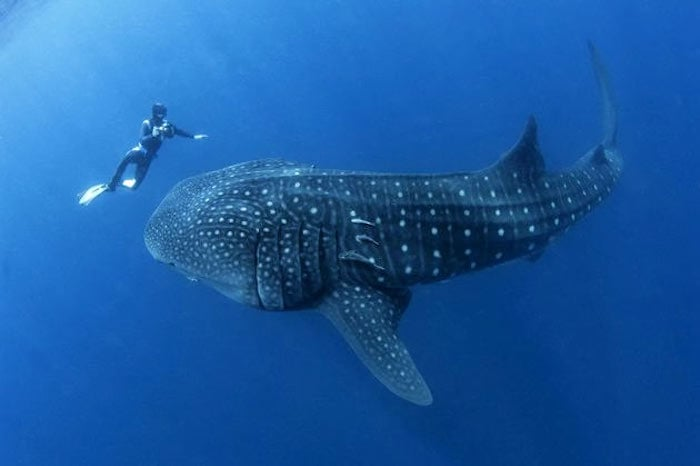 Whale Sharks in Maldives - Ray Auxillou