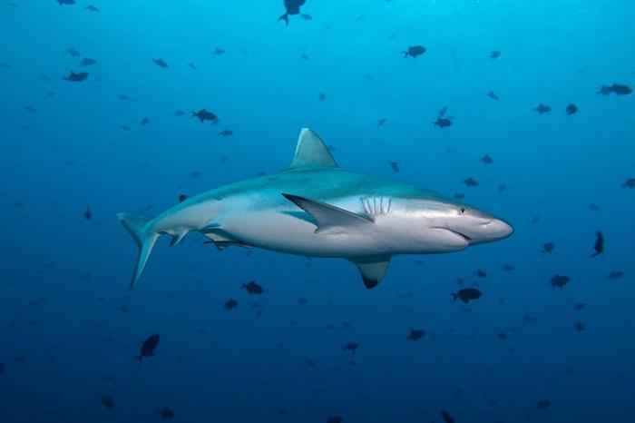 Reef Sharks in the Maldives