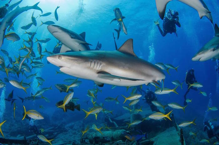 Diving with sharks in the Bahamas