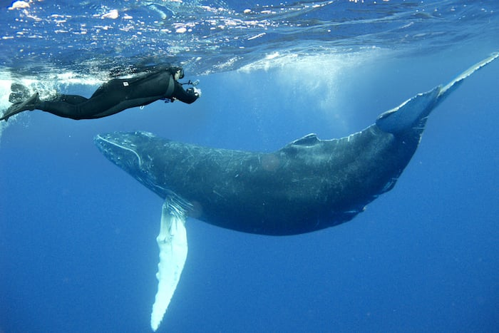 Humpback whales in Mexico