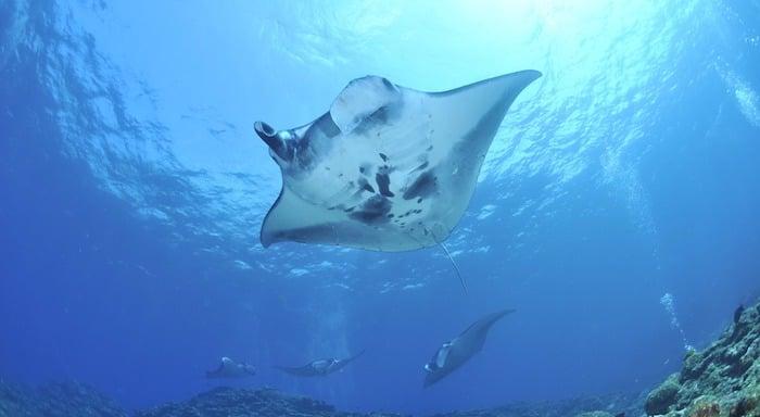 Manta Rays Komodo, Indonesia