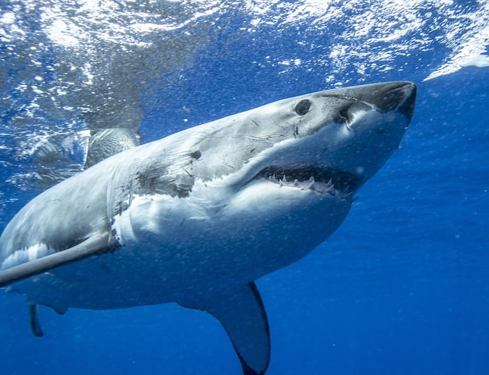 Great White Sharks Guadalupe