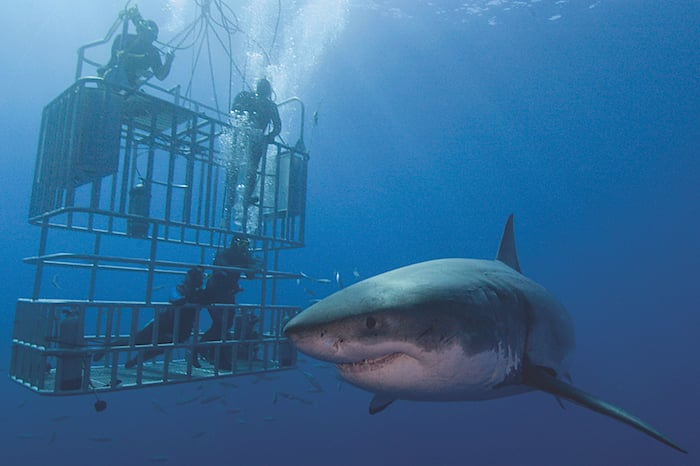 Cage diving with sharks in Guadalupe - Nautilus liveaboards